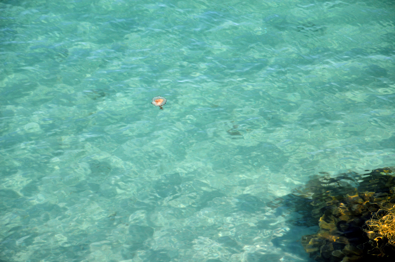 Jellyfish in clear waters