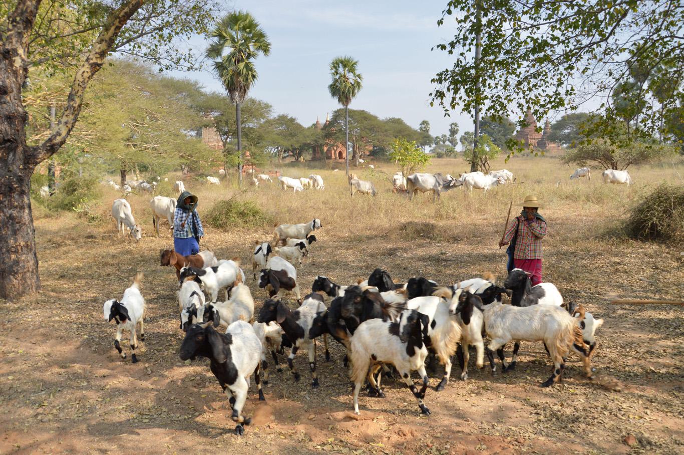 Local shepherds