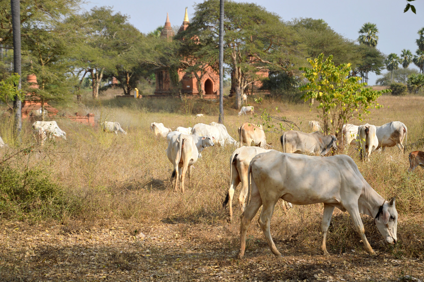 Cattle among the temples