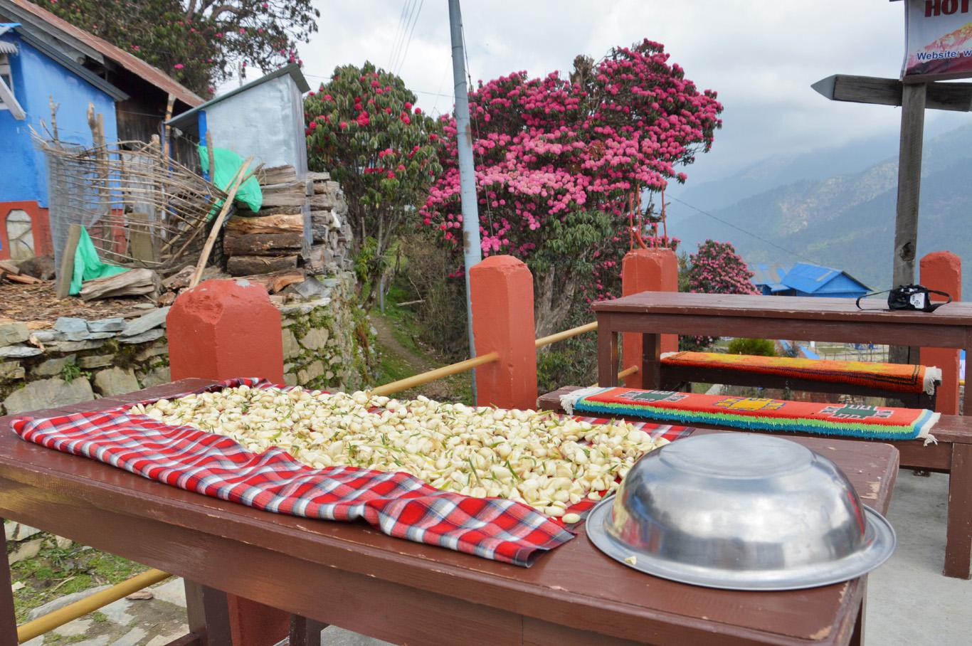 Drying garlic in Ghorepani