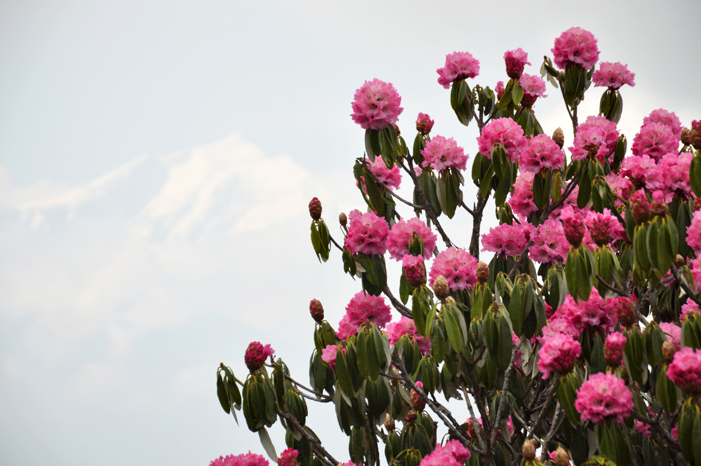 Rhododendrons with the beautiful background of snowy Himalayas