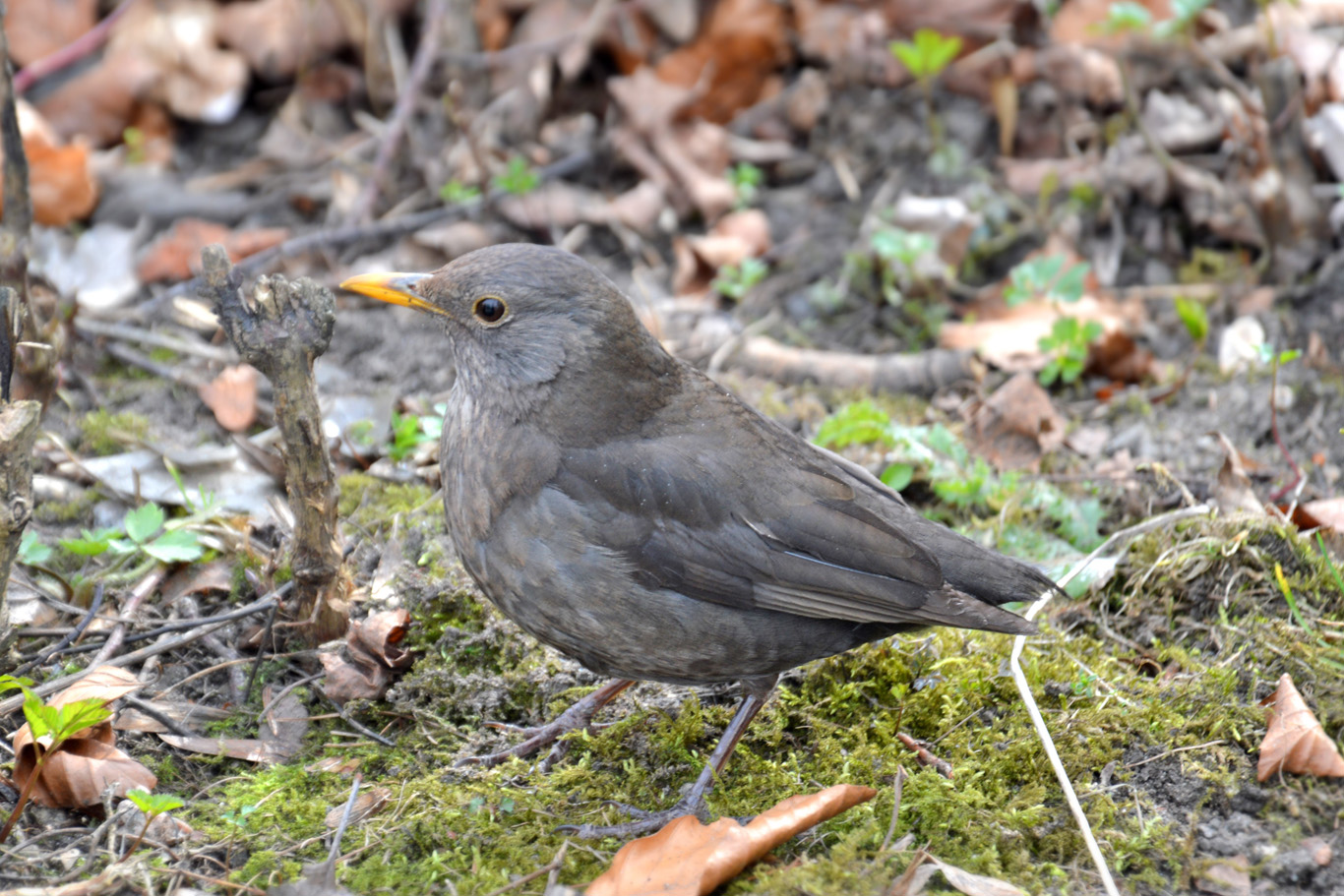 A blackbird in the bushes