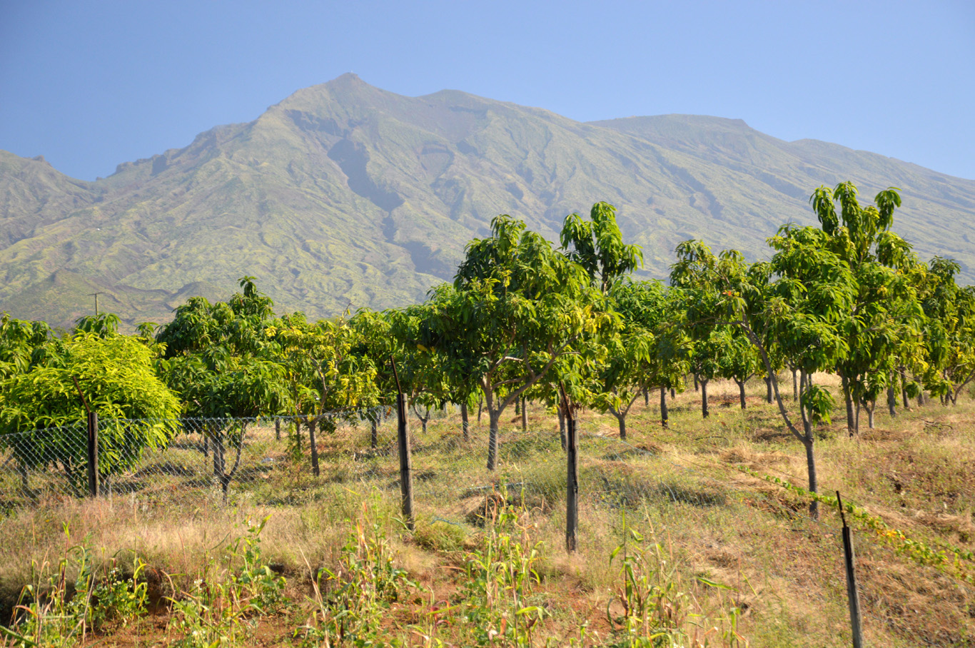 Fruit plantations in Fogo