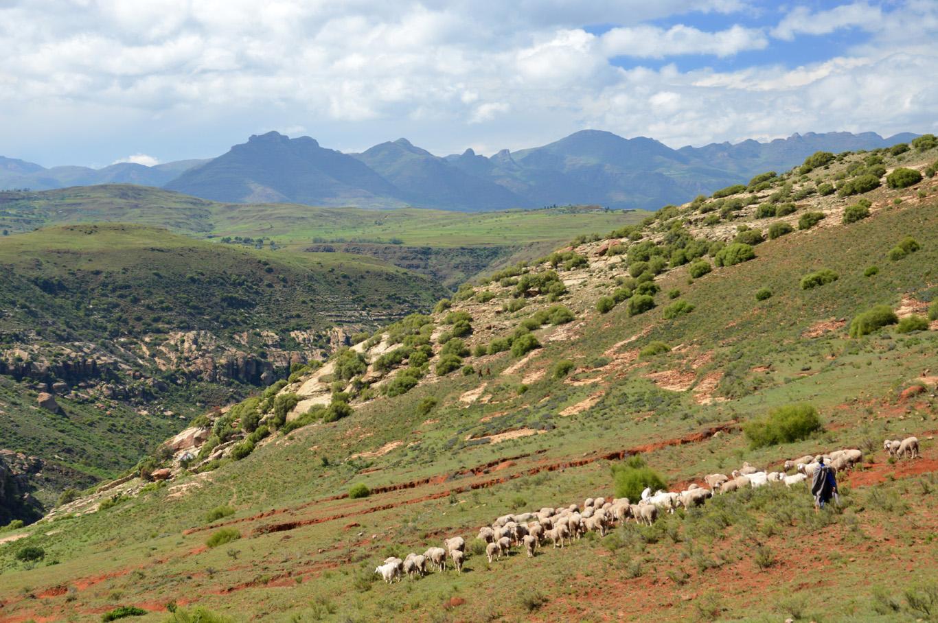 The shepherd and his herd
