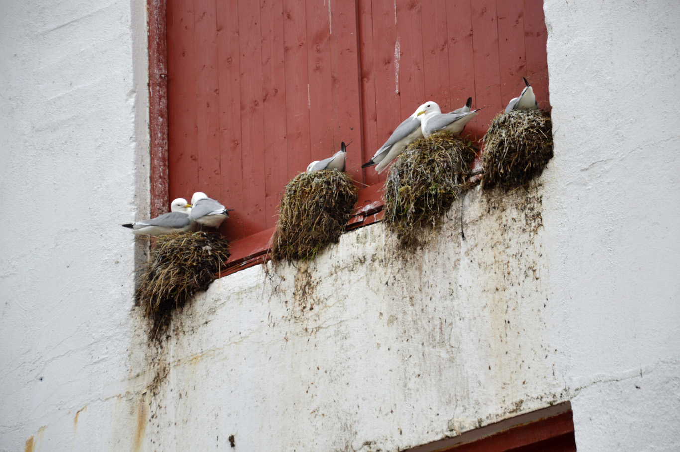 Seagulls have nests everywhere