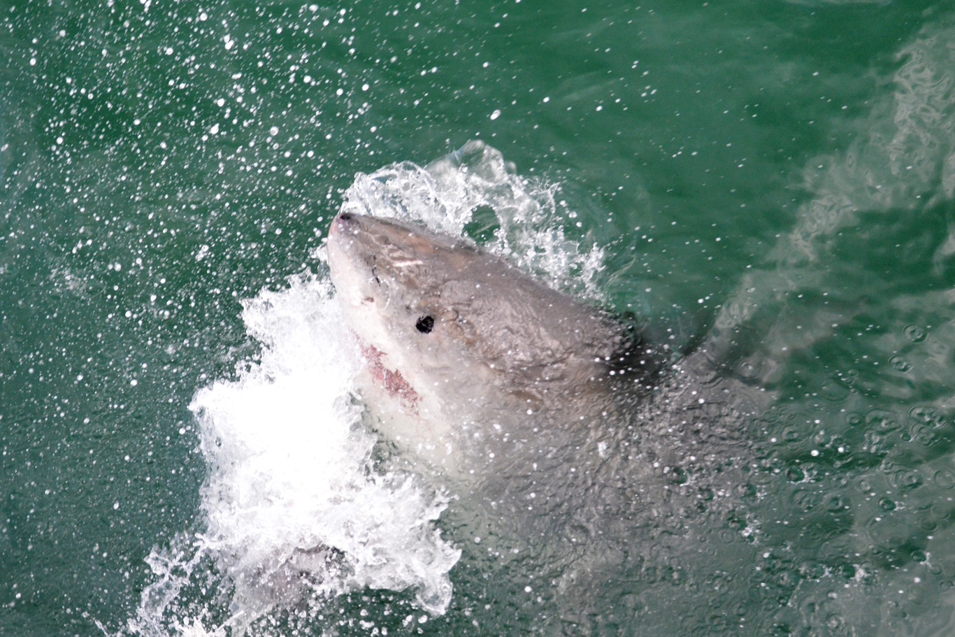 Another shark jumping out of water