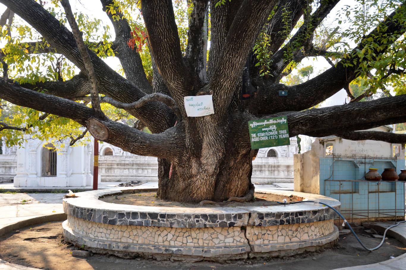 Starflower tree - Kuthodaw Temple