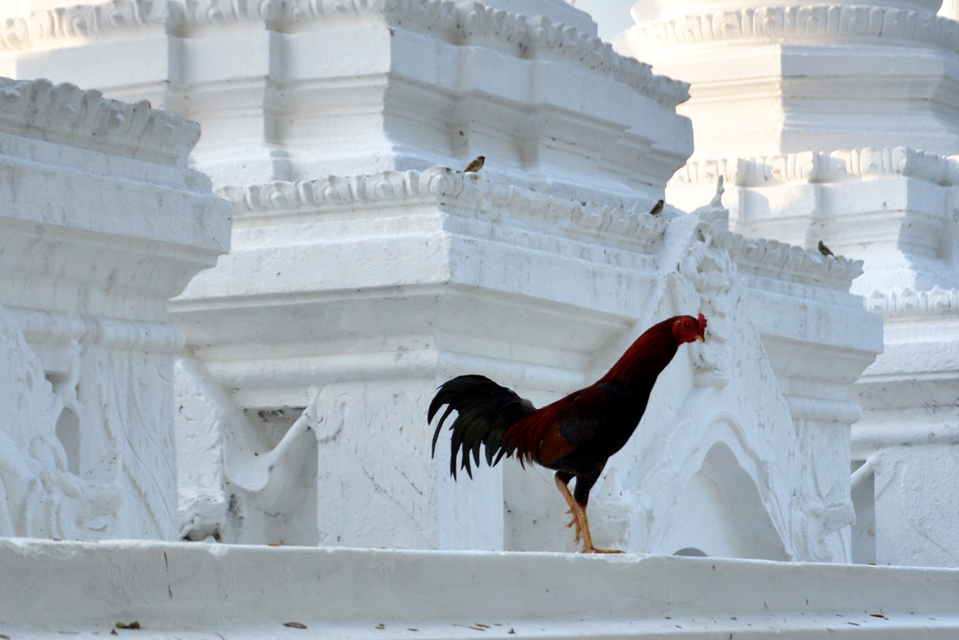A rooster at Kuthodaw Pagoda