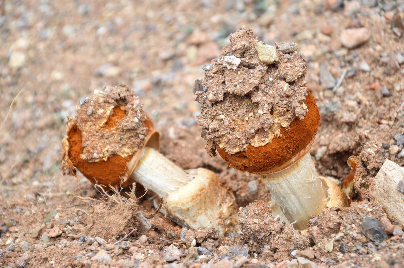 Desert mushrooms