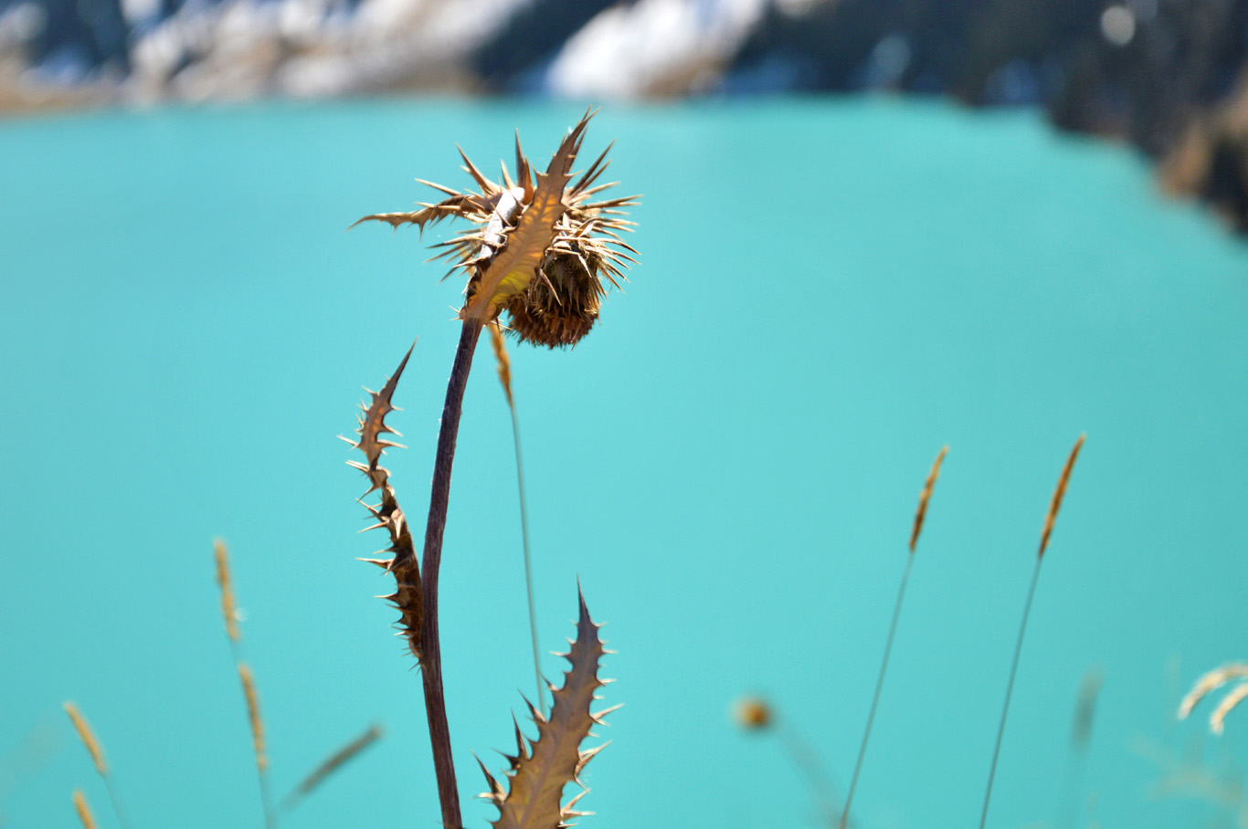 A dry thistle contrasting with the deep blue color