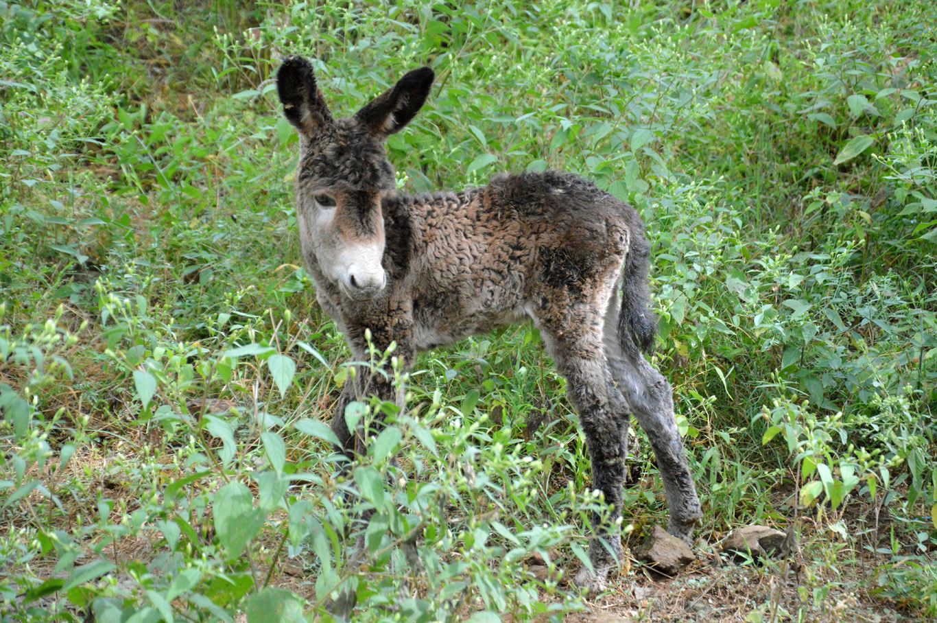 A common sight - little donkey