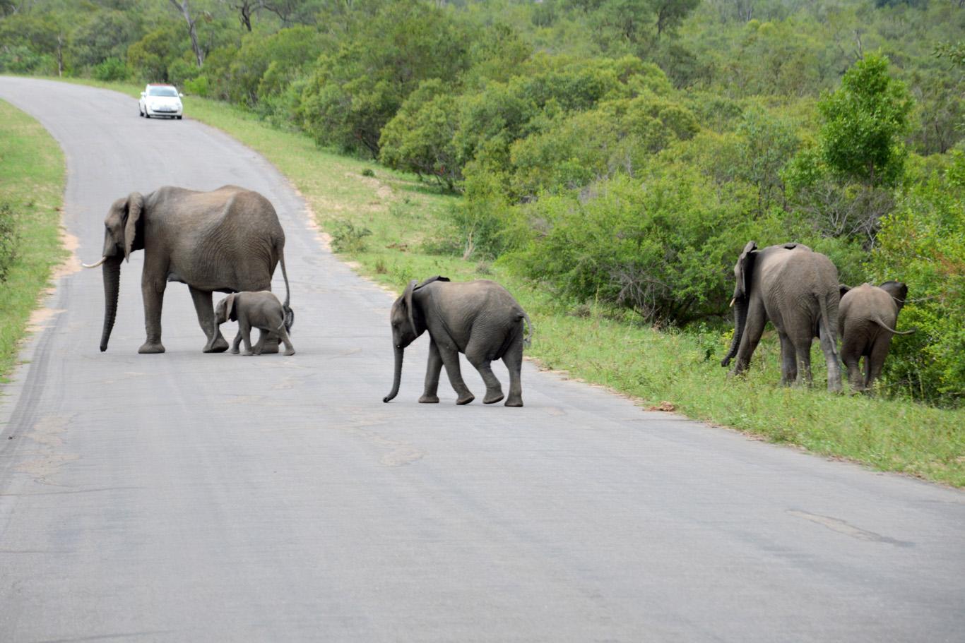 Elephants crossing a road