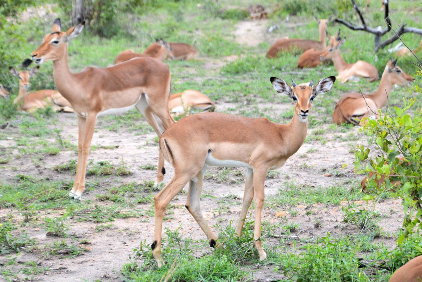Impala antylopes