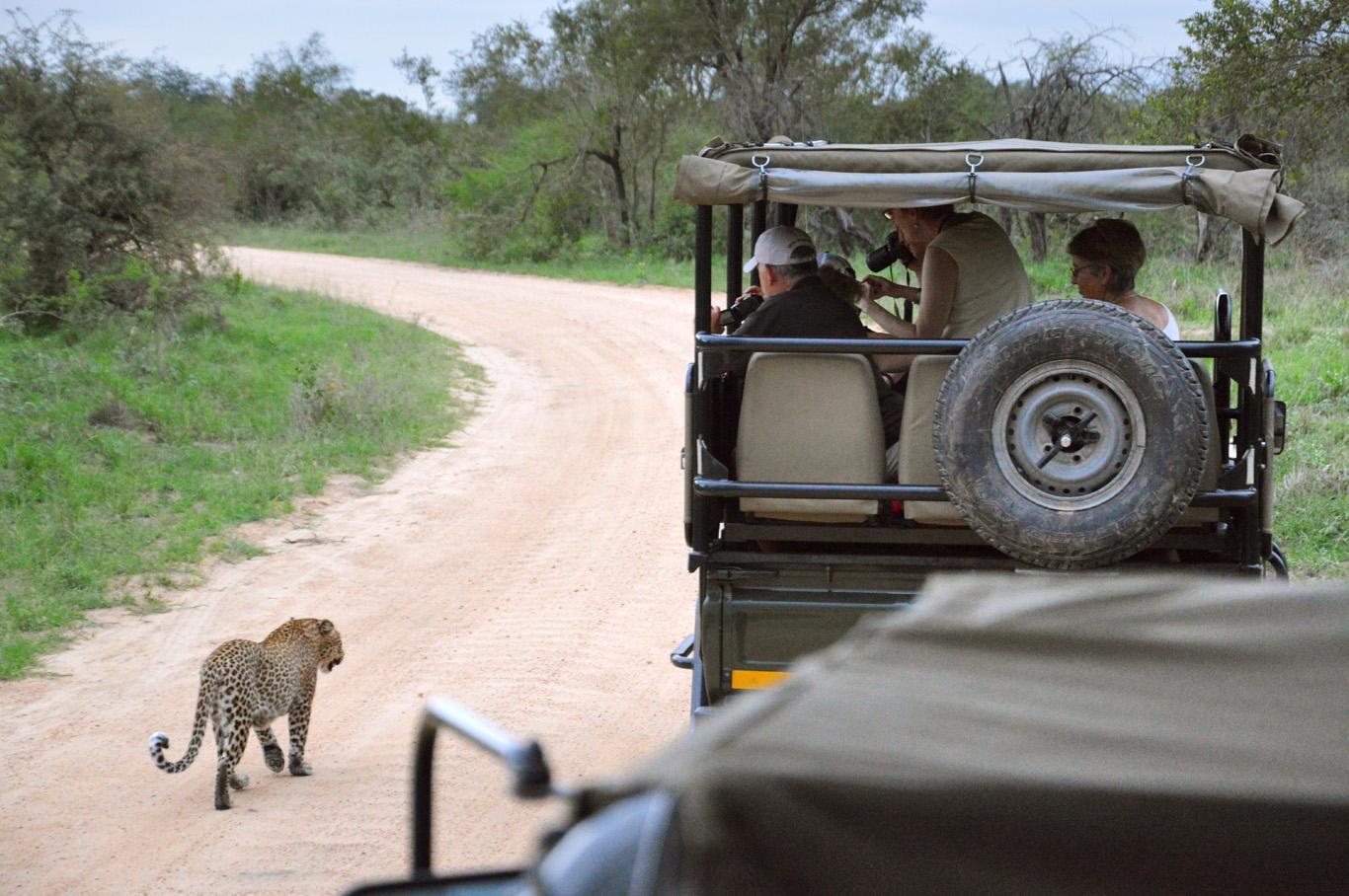 Leopard walking side by side with the trucks