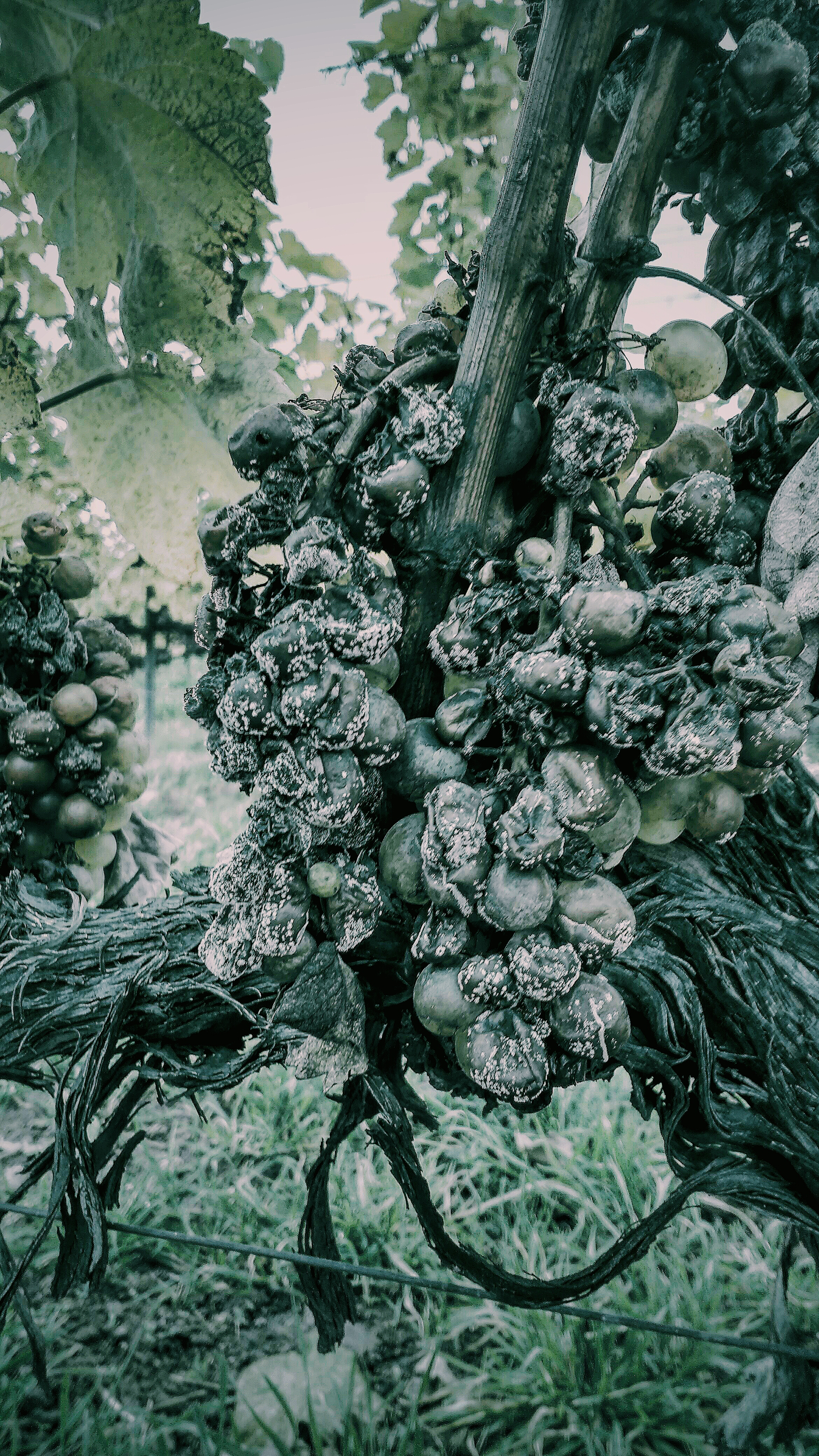 The 'noble rot' in all its glory...