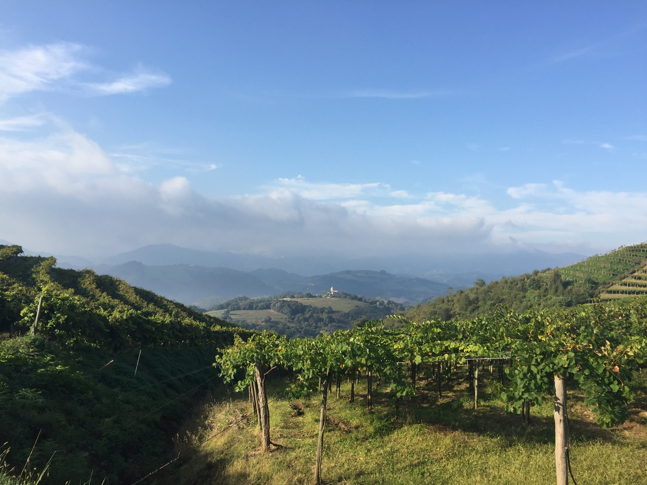 Vines seen above Getaria