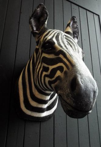 faux-taxidermy-zebra-head-25624-p_dcfe27c6-51c4-4fdb-b178-14fcbbf4122b_large.jpg