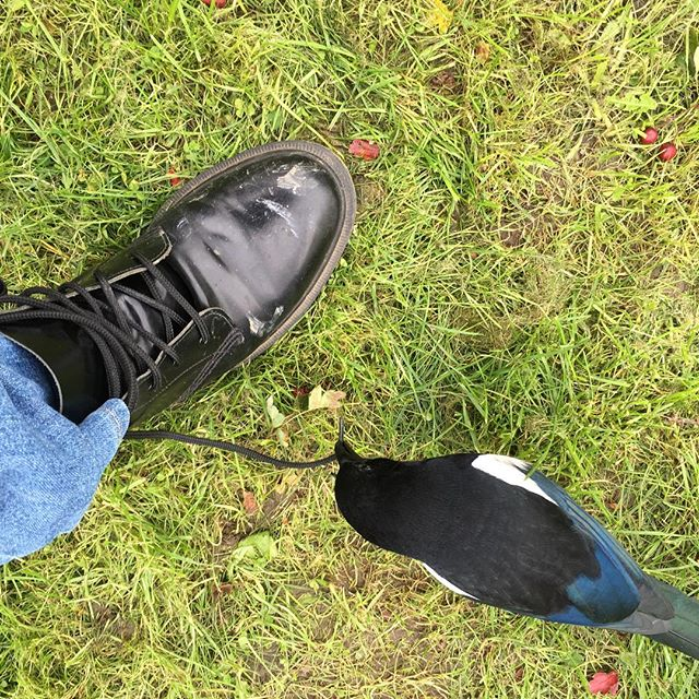 This cheeky #magpie has decided to take on my laces. #bird #britishbirds #gardening #autumn #drmartens
