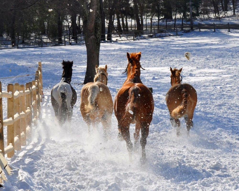 Copy of Horses playing in the snow