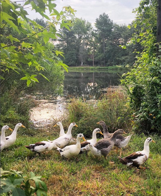 Ancona Ducks - Our small flock helps conserve this rare heritage breed while also managing our 1.5 acre pond.