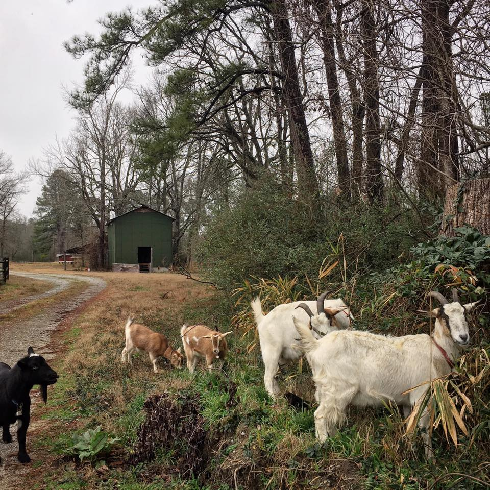 Goats - By just doing what goats do, our herd helps clear restore our farm's fertility without chemicals.