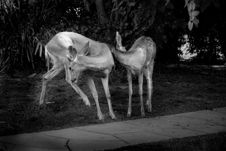 Dear Deer, Monrovia California © Robert Welkie 2016