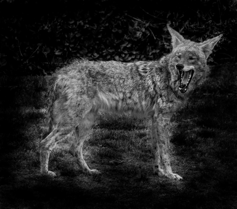 Coyote, Monrovia, California © Robert Welkie 2016