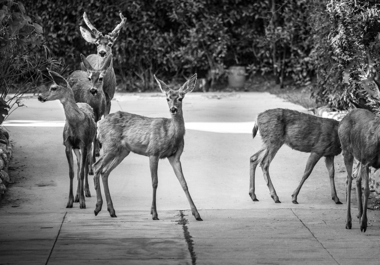 Six Deer, Monrovia, California © Robert Welkie 2016
