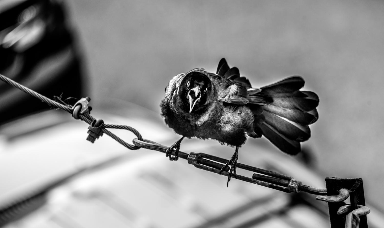 Bird on Wire, Austin Texas © Robert Welkie 2016