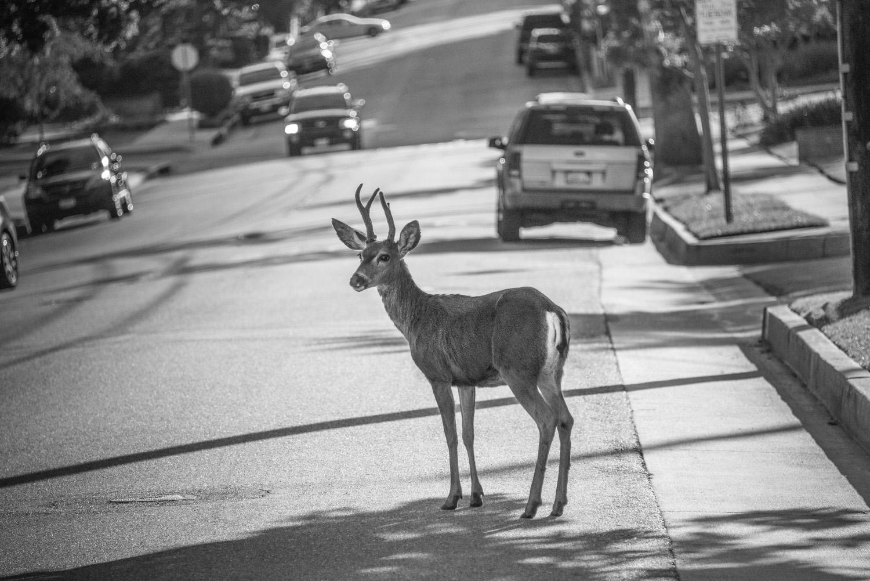 Deer on Hillcrest Boulevard, Monrovia, California © Robert Welkie 2016