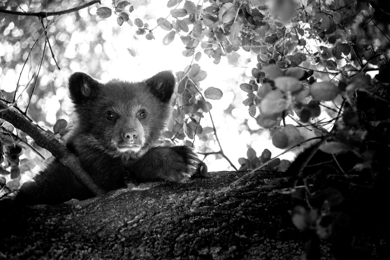 Bear Cub in Oak Tree, Monrovia, California © Robert Welkie 2016