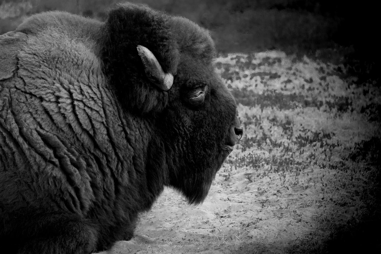 Buffalo, Pauma Valley, California © Robert Welkie 2017