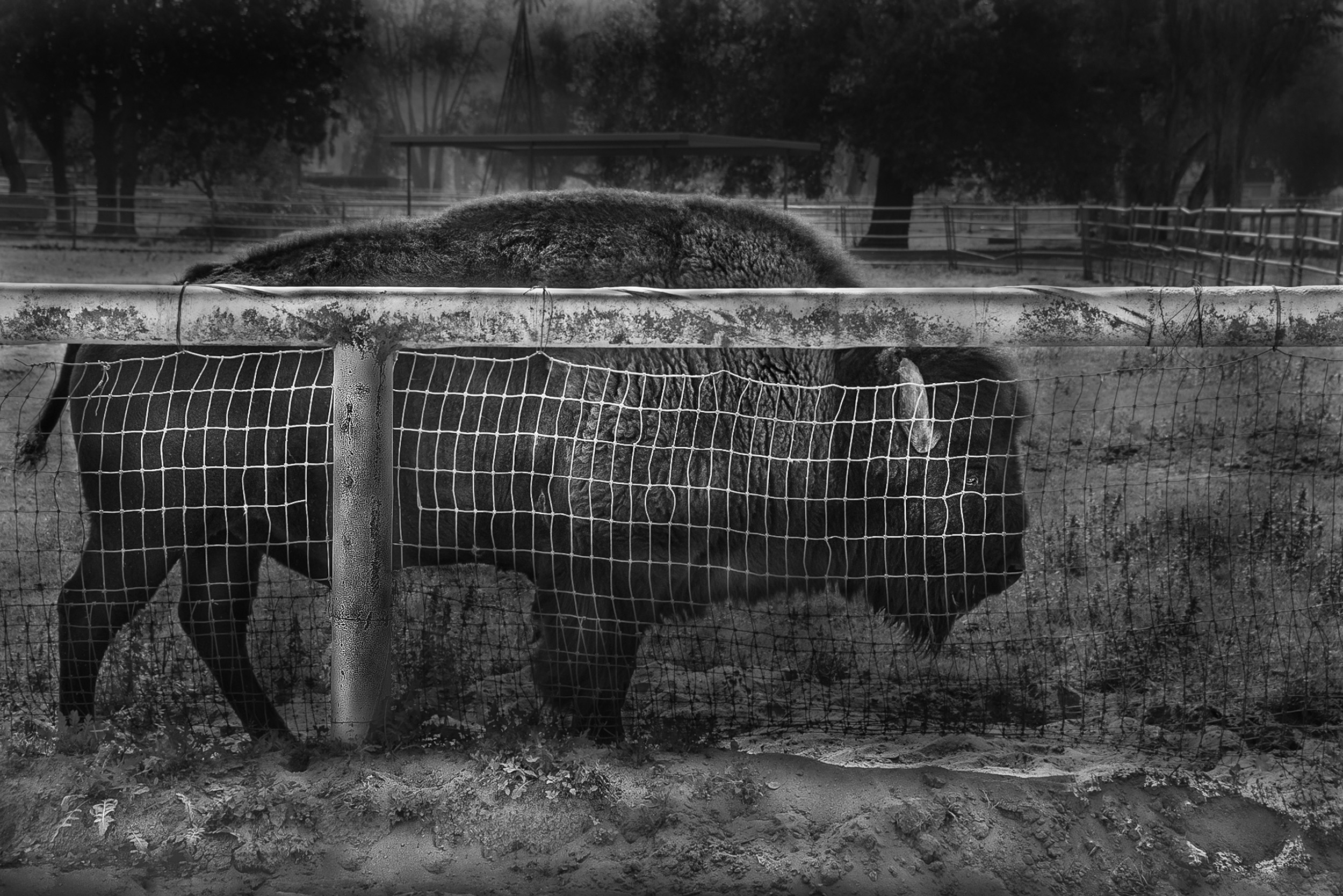 Buffalo and Fence, Pauma Valley, California  © Robert Welkie 2018