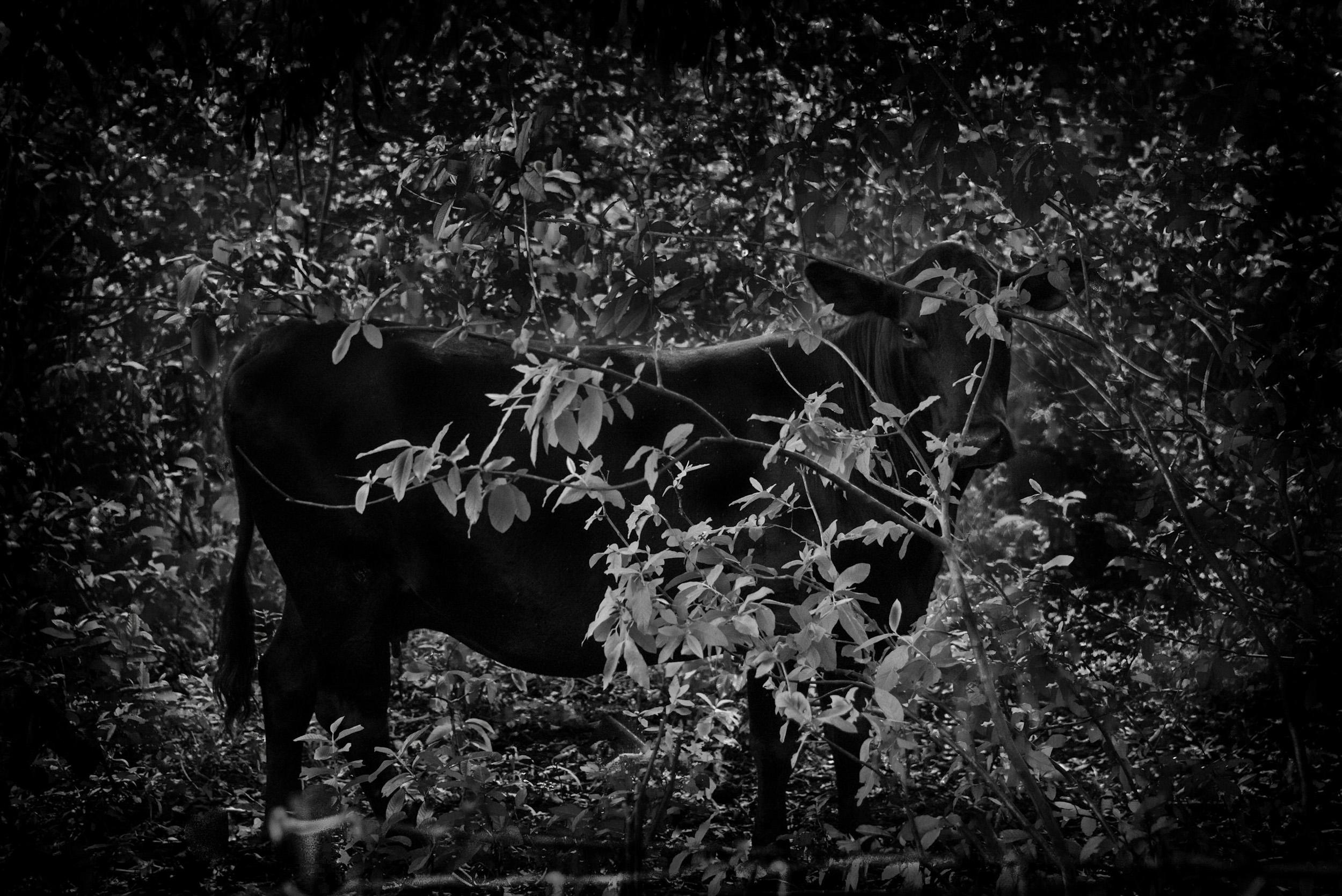Jungle Cow, Big Island, Hawaii  © Robert Welkie 2019