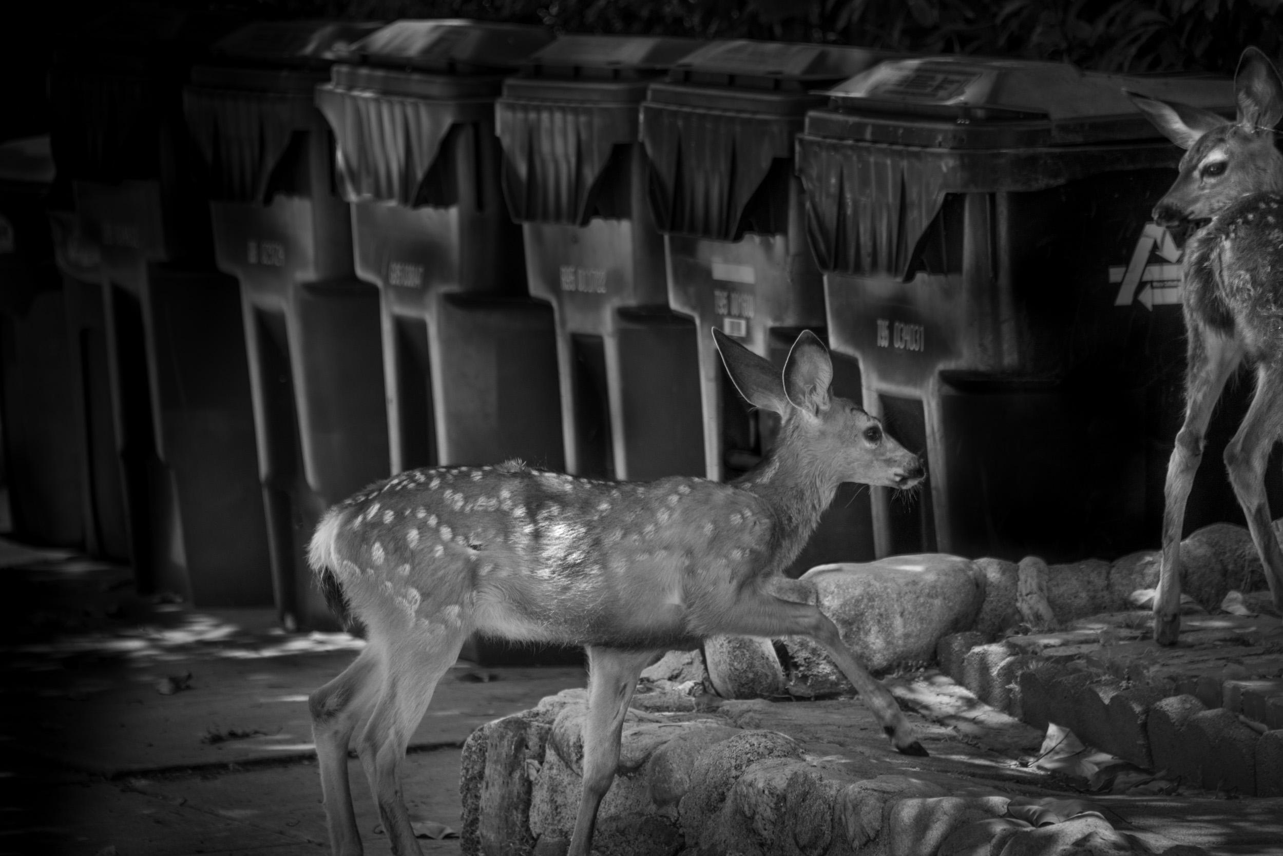 Deer and Trash Cans, Monrovia, California  © Robert Welkie 2019