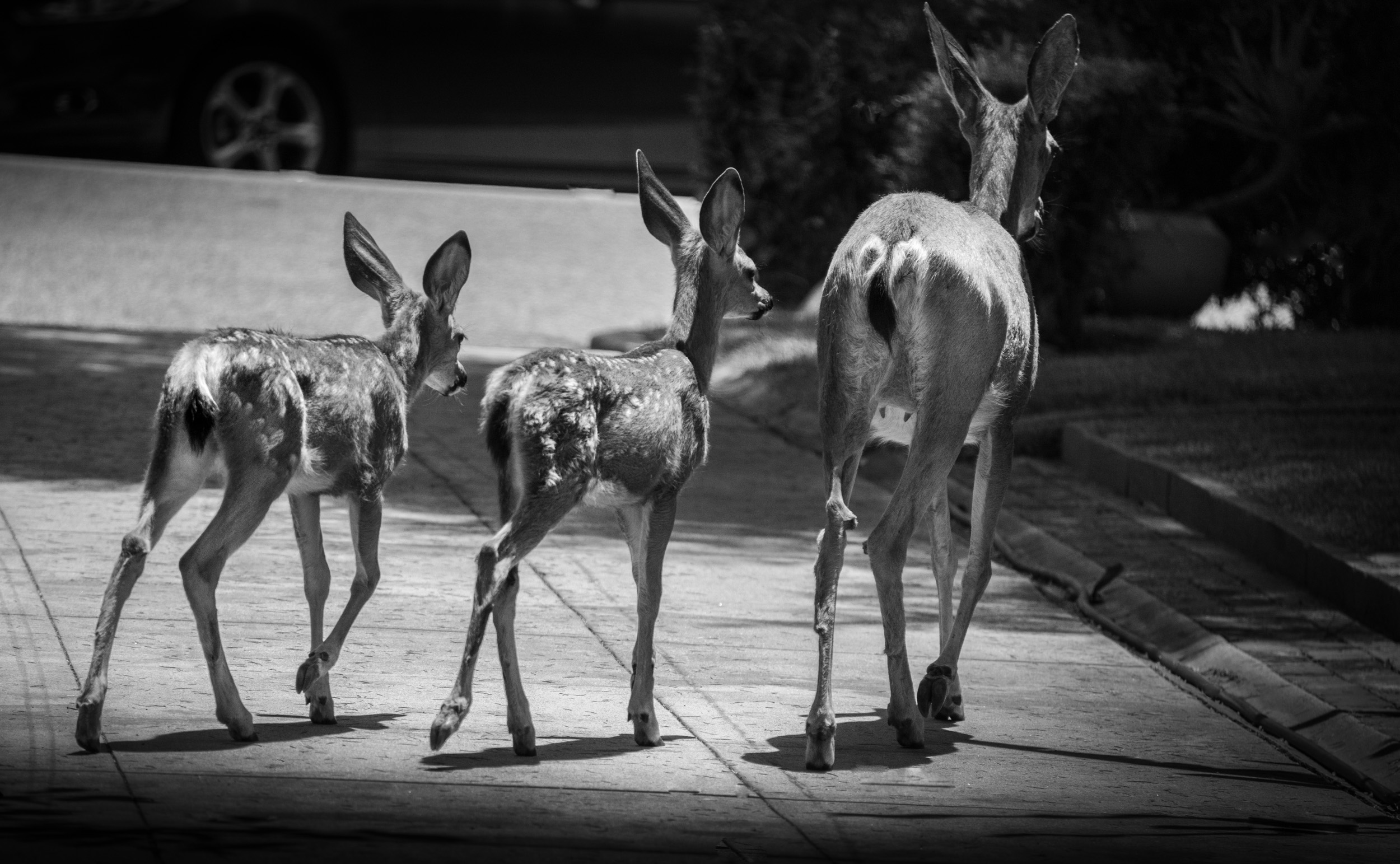 Dear and Fawns, In Driveway, Monrovia, California  © Robert Welkie 2019