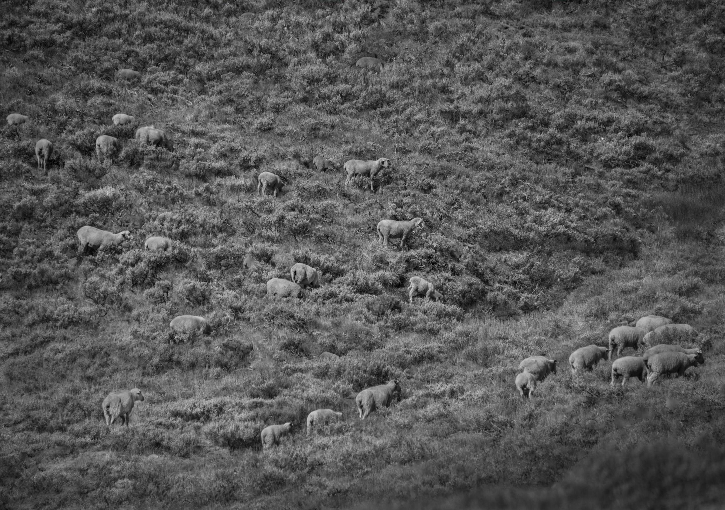 Sheep, Logan Canyon, Utah  © Robert Welkie 2018