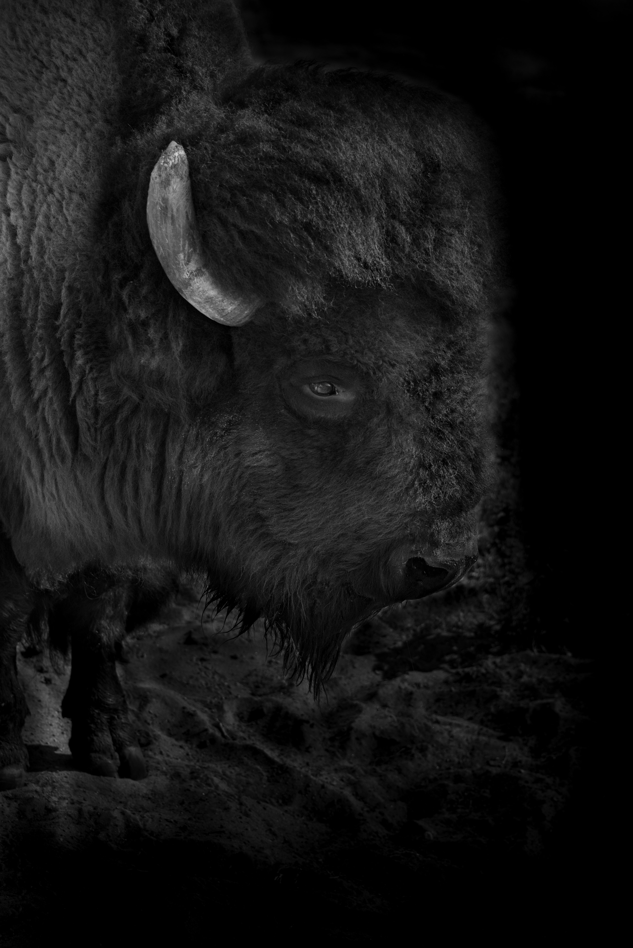 Dark Buffalo, Pauma Valley, California  © Robert Welkie 2018