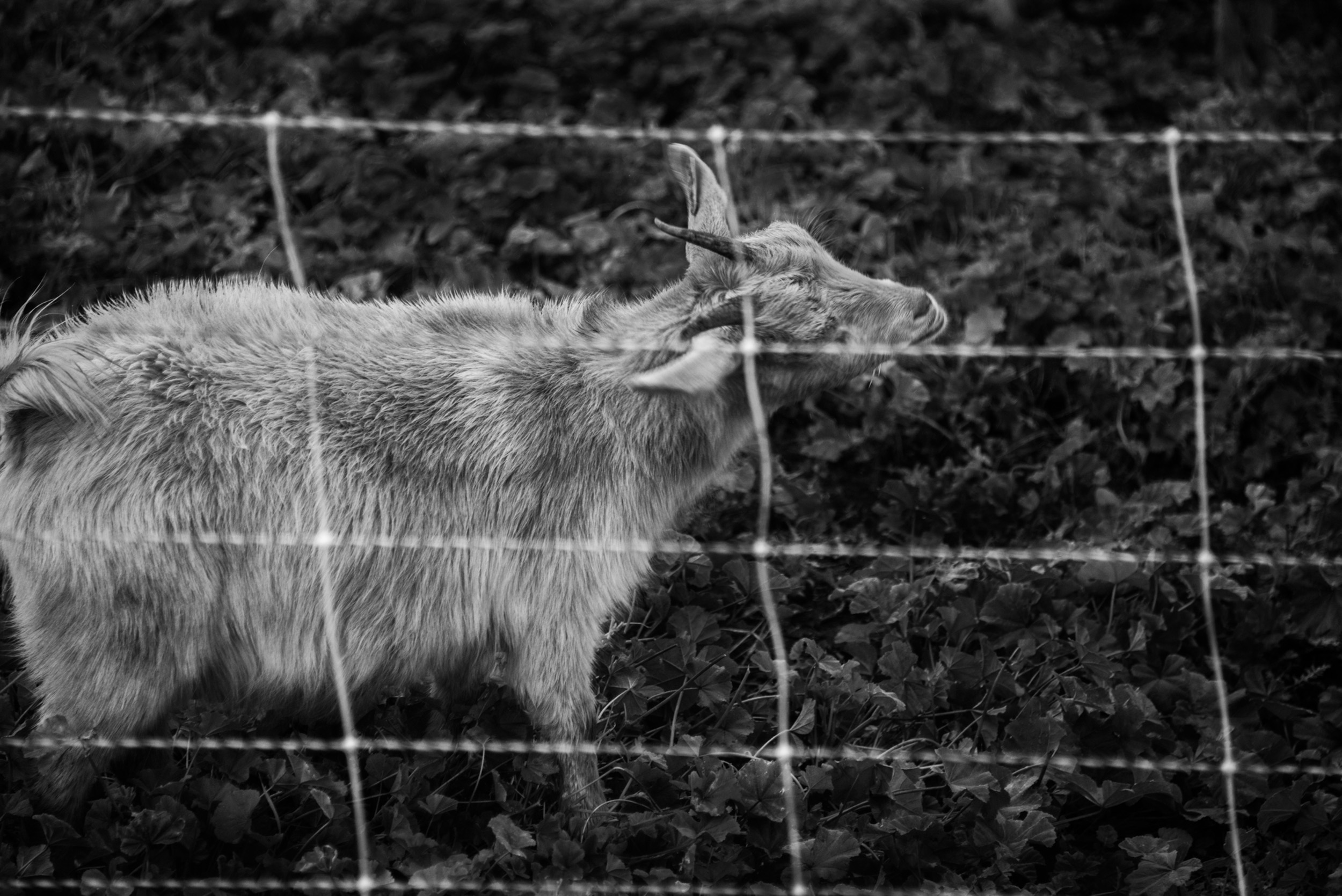 Goat and Fence, Pauma Valley, California  © Robert Welkie 2019