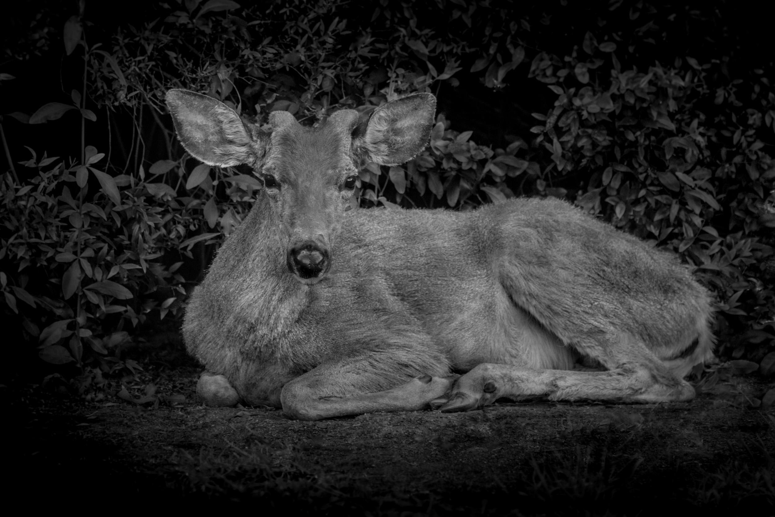 Deer Sitting, Monrovia, California © Robert Welkie 2019
