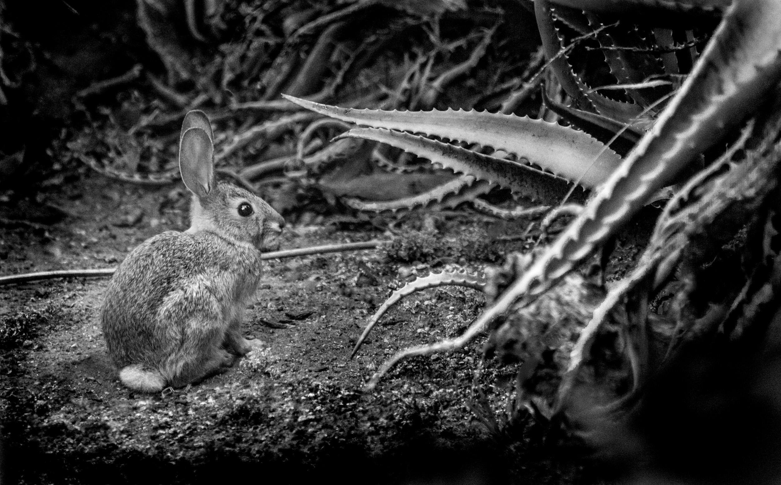 Hare at the Huntington Library, San Marino, California © Robert Welkie 2017