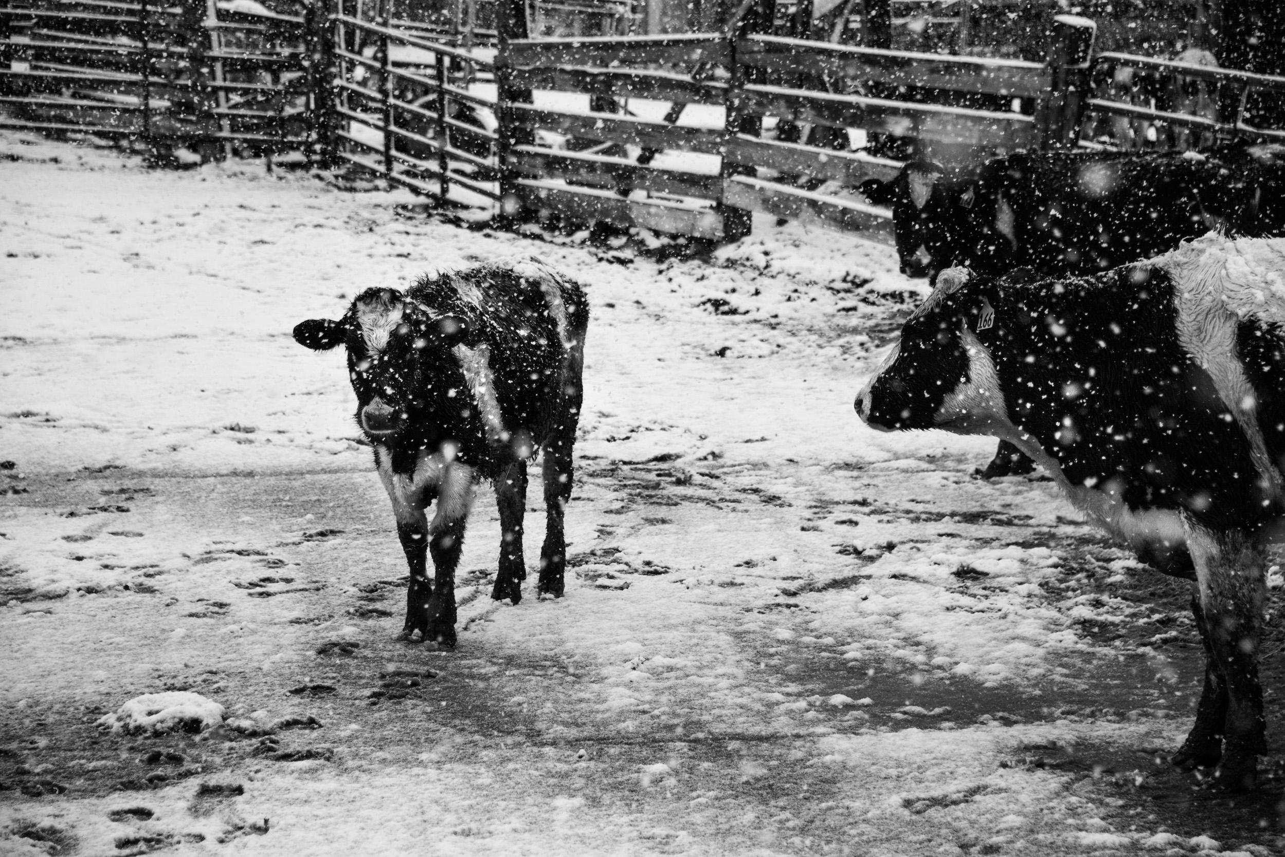 Cows in Snow Storm, Logan, Utah © Robert Welkie 2018