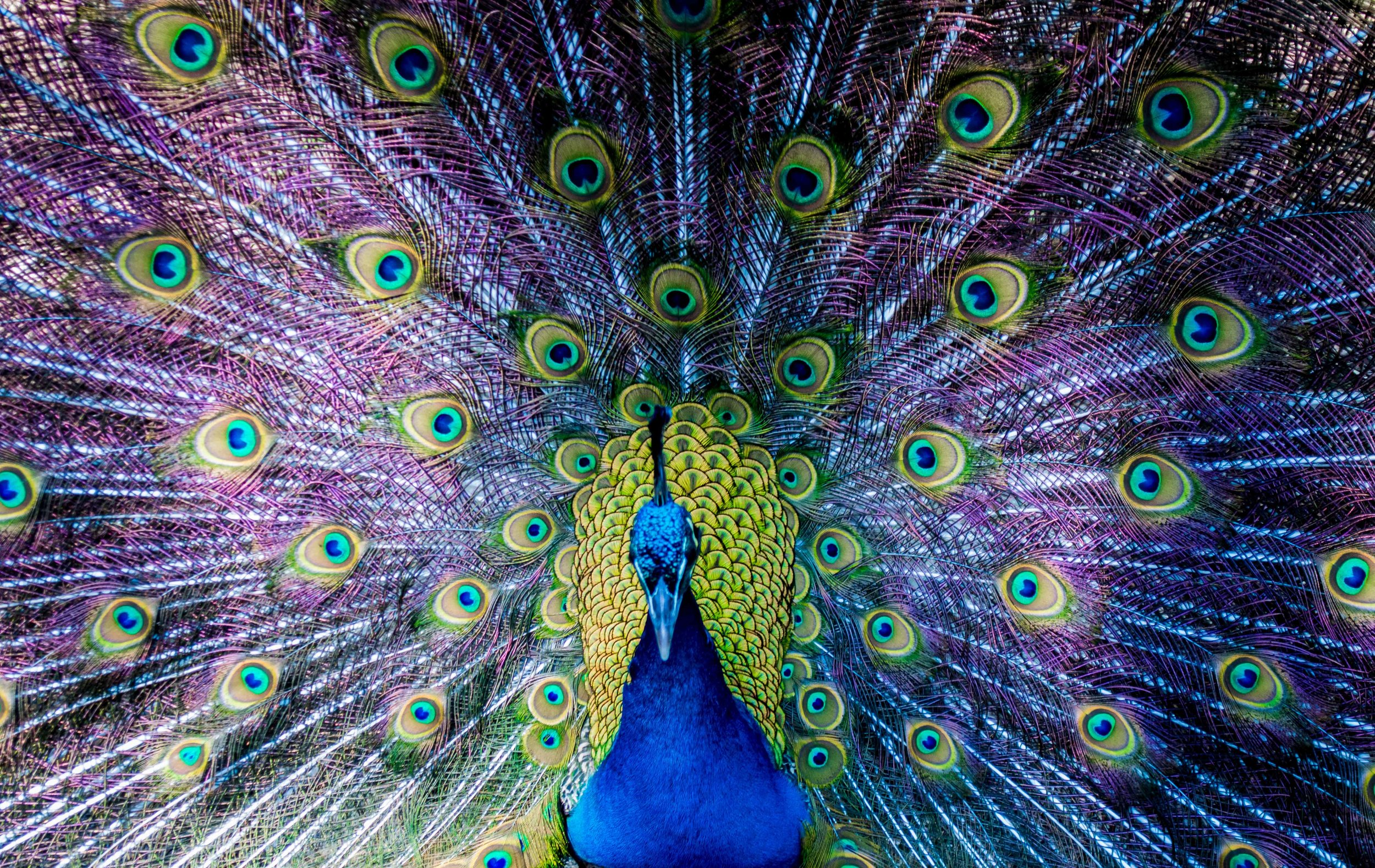 Peacock colour.jpg