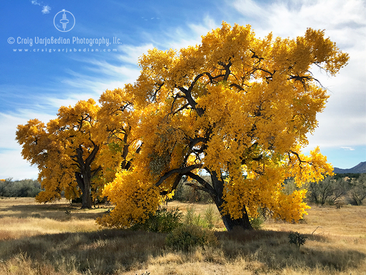 Bonanza Cottonwood Trees, Autumn, New Mexico 2014.  Photograph by ©Craig Varjabedian.  Photograph made with an Apple iPhone 6