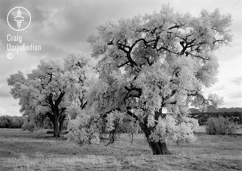 Cottonwood No. 2, Autumn, Nr. Santa Fe, New Mexico 1996. Photograph by ©Craig Varjabedian