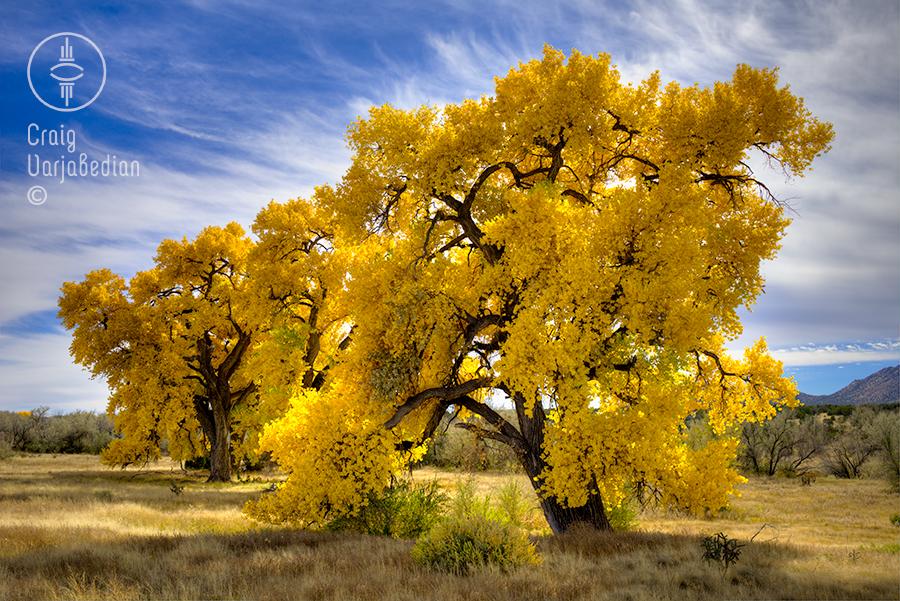 Cottonwood No. 6, Autumn, Nr. Santa Fe, New Mexico 2014. Photograph by ©Craig Varjabedian