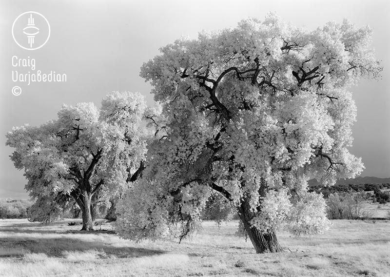 Cottonwood No. 4, Autumn, Nr. Santa Fe, New Mexico 1996. Photograph by ©Craig Varjabedian