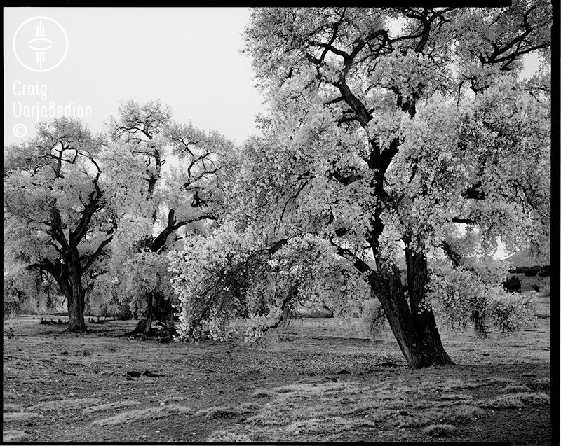 Cottonwood No. 1, Autumn, Nr. Santa Fe, New Mexico 1996. Photograph by ©Craig Varjabedian