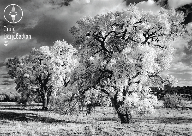 Cottonwood No. 5, Autumn, nr. Santa Fe, New Mexico 1996