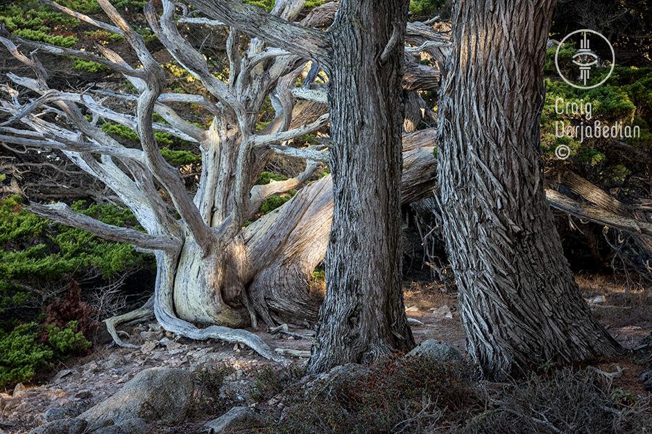 Cypress Tree at Point Lobos, nr. Carmel, California